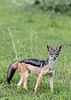 Black-backed jackal (Canis mesomelas) in fresh grass, Grumeti Game Reserve, Serengeti, Tanzania