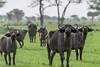 Watchful Cape Buffalo in new grass, Grumeti Game Reserve, Serengeti, Tanzania
