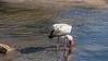 Yellow-billed stork fishing in the fast water of the flooded Grumeti River, Serengeti, Tanzania