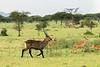 Waterbuck (Kobus ellipsiprymnus) scattering impalas (Aepyceros melampus), Grumeti Game Reserve, Tanzania