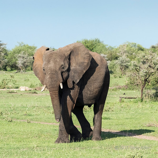 Elephant with tip of truck removed by predator, Grumeti Game Reserve, Tanzania