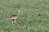 White-bellied bustard (Eupodotis senegalensis, korhaan ) in the fresh savanna grass, Grumeti Game Reserve, Serengeti, Tanzania