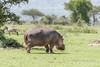 Hippopotamus (Hippopotamus amphibius) walking across the savanna in the sunshine, Grumeti Game Reserve, Tanzania