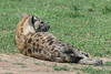 Spotted hyena (Crocuta crocuta), back view, with flies in the air, Grumeti Game Reserve, Serengeti, Tanzania