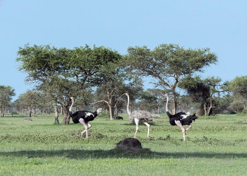 Two males and a female Masai ostrich  (Struthio camelus massaicus) moving across the savanna, Grumeti Game Reserve, Serengeti, Tanzania