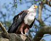 African fish eagle, Grumeti, Tanzania md