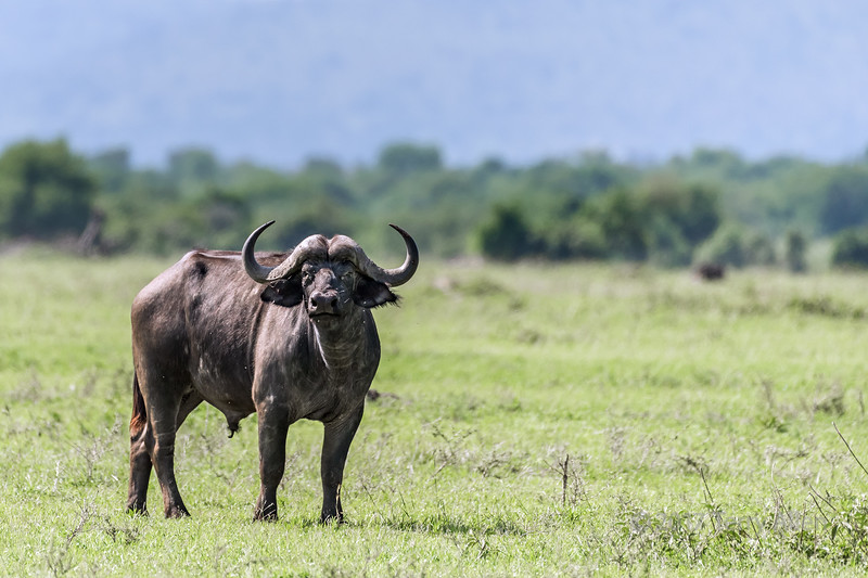Fly-covered Cape buffalo (Syncerus caffer) at the start of the rainy season, Grumeti Game Reserve, Tanzania