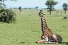 Baby Masai giraffe with tick bird, Grumeti Game Reserve, Serengeti, Tanzania