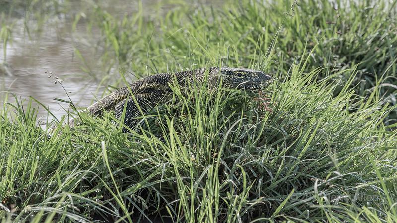 Nile monitor lizard (Varanus niloticus) crawling out of a pond, Grumeti Game Reserve, Serengeti, Tanzania