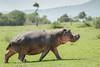 Hippopotamus (Hippopotamus amphibius) walking across the savanna in daytime, Grumeti Game Reserve, Tanzania