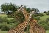 Masai giraffes rubbing necks, tick bird, Grumeti Game Reserve, Serengeti, Tanzania