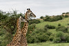 Pair of Masai giraffe walking across the savanna, Grumeti Game Reserve, Serengeti, Tanzania