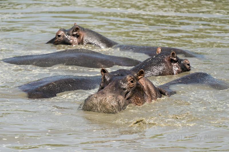 Crash of hippos