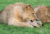 Young lion grooming in new grass, Grumeti Game Reserve, Serengeti, Tanzania