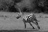 Running Plains zebra (Equus quagga), Grumeti Game Reserve, Serengeti, Tanzania