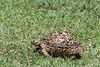 Young leopard tortoise (Stigmochelys pardalis) in green grass, Grumeti Game Preserve, Serengeti, Tanzania
