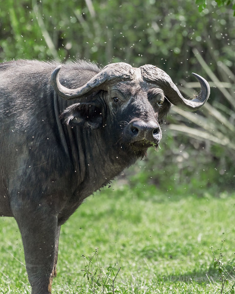 Cape buffalo (Syncerus caffer) surrounded by flies, Grumeti Game Reserve, Serengeti, Tasmania