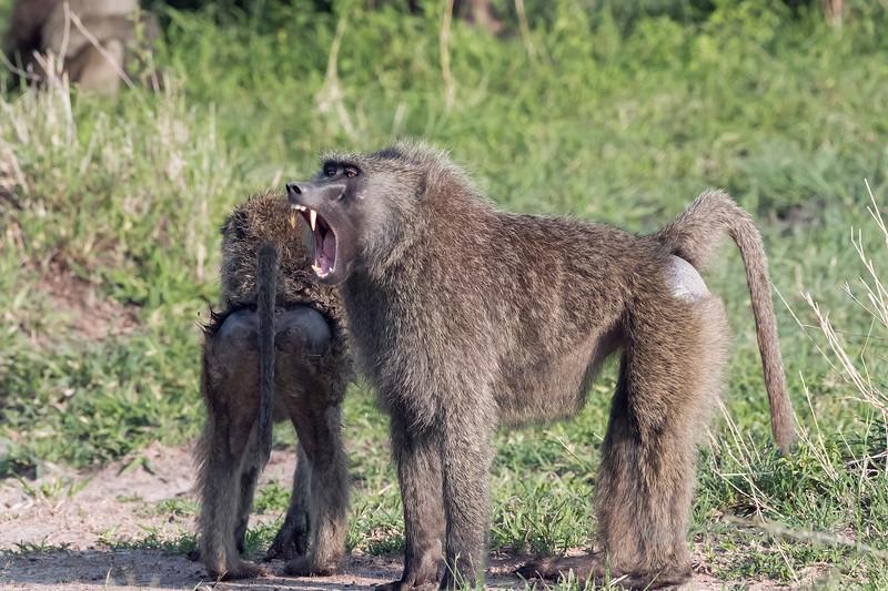 Toothy grin, olive baboon (Papio anubis) at Gumeti Game Reserve, Serengeti, Tanzania