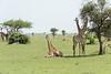 Masai giraffes with reclining baby giraffe, Grumeti Game Reserve, Serengeti, Tanzania