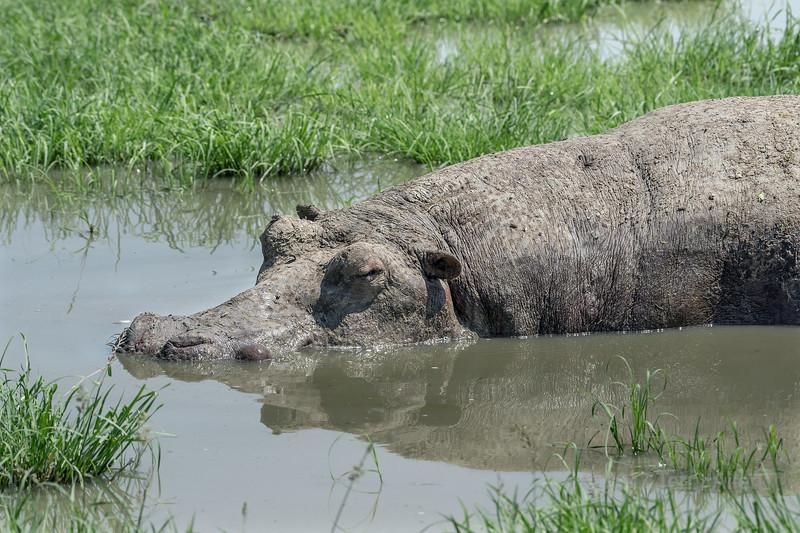 Mud-caked hippopotamus (Hippopotamus amphibius) asleep in a shallow rain pool, Grumeti Game Reserve, Tanzania