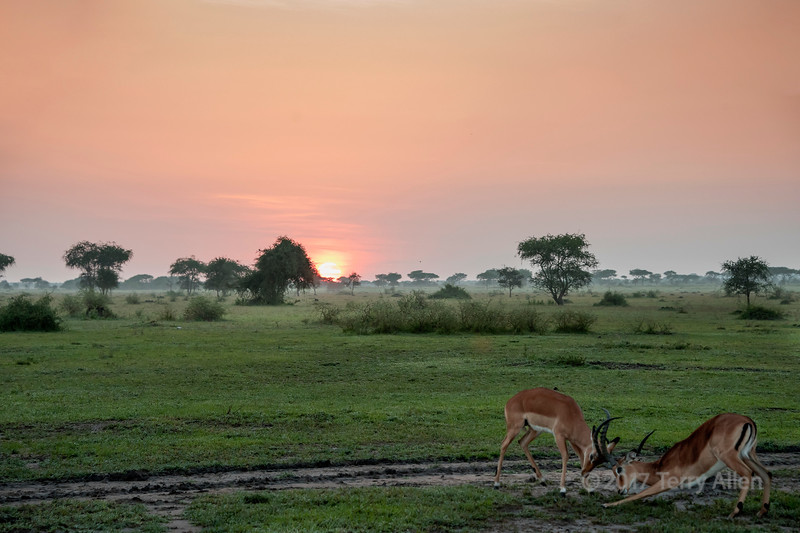 Impala bucks sparring at sunrise, Gumeti Game Reserve, Serengeti, Tanzania