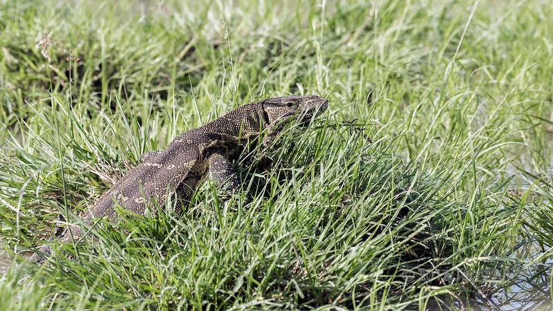 Nile monitor lizard (Varanus niloticus) in the tall grasses of a pond, Grumeti Game Reserve, Serengeti, Tanzania