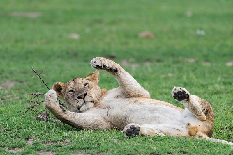 Young male lion lying on its back in the new grass, Grumeti Game Reserve, Serengeti, Tanzania