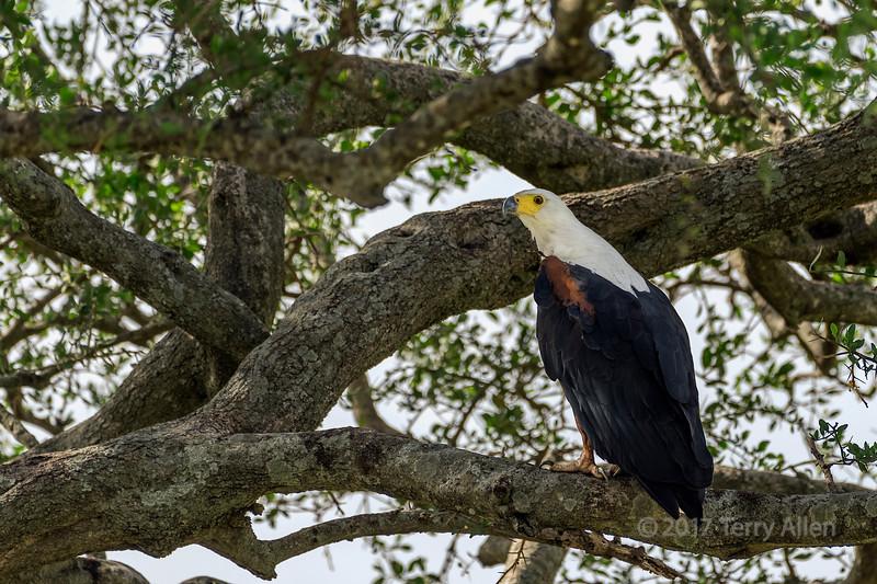 African fish eage (Haliaeetus vocifer) in a large tree, Grumeti Park Reserve, Tanzania