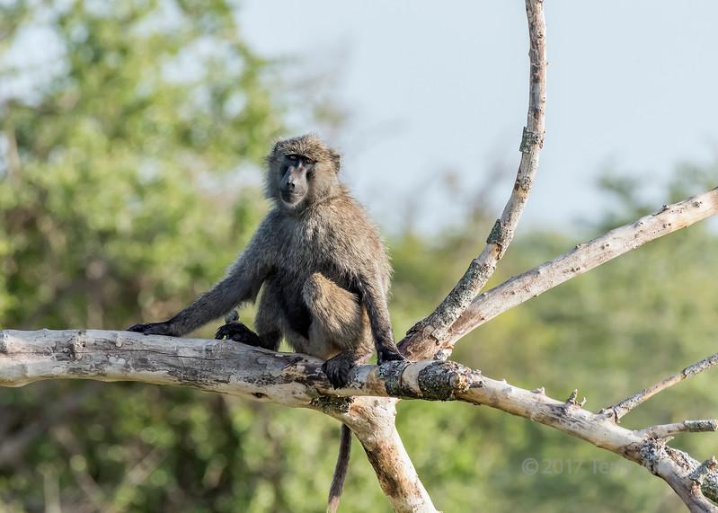 Olive baboon (Papio anubis) on a dead tree, Grumeti Game Reserve, Serengeti, Tanzania