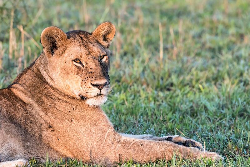 Lioness at sunrise with flies, Grumeti Game Reserve, Serengeti, Tanzania