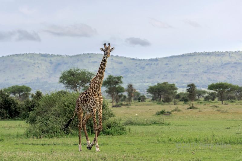 Giraffe running across the savanna, Grumeti Game Reserve, Serengeti, Tanzania