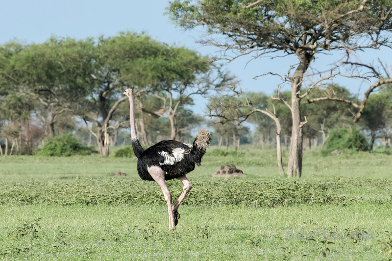 Male Masai ostrich (Struthio camelus massaicus) running across the savanna, Grumeti Game Reserve, Serengeti, Tanzania