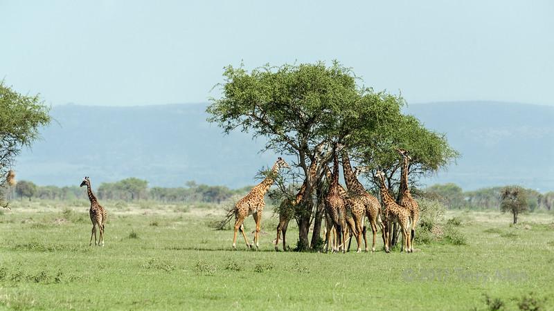 Masai giraffe group dinner, Grumeti Game Reserve, Serengeti, Tanzania