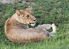 Lion cub curled up on the savanna in new grass, Grumeti Game Reserve, Serengeti, Tanzania