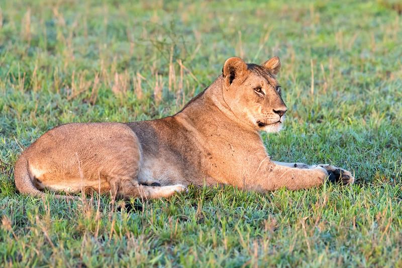 Lioness relaxing at sunrise, Grumeti Game Reserve, Serengeti, Tanzania