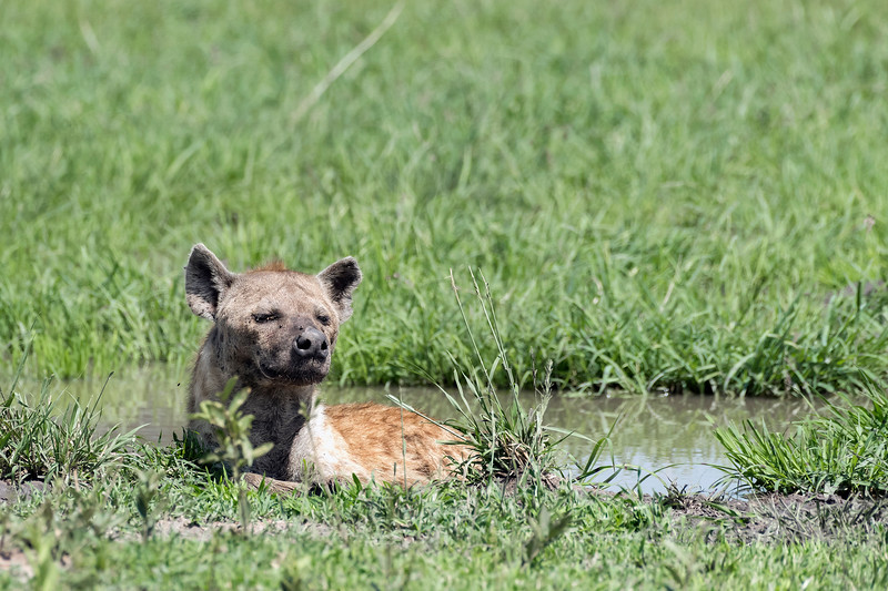 Spotted hyena (Crocuta crocuta) lying in a puddle tying to avoid the flies, Grumeti Game Reserve, Serengeti, Tanzania