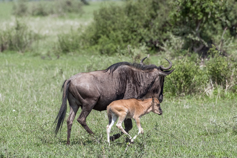 Newborn wildebeest calf with its mother, Grumeti Game Reserve, Serengeti Great Migration, Tanzania