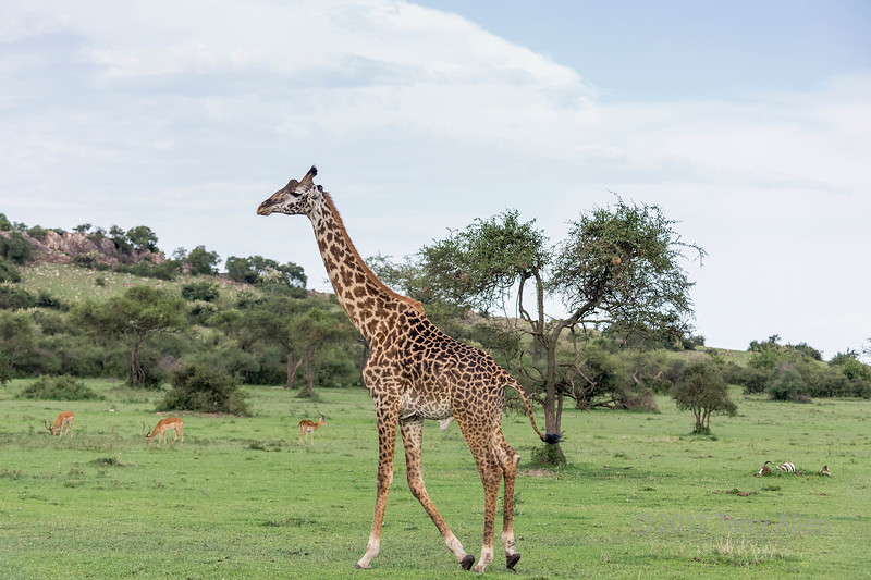 Maasai giraffe walkig across the savanna with impala ad wildebeest carcass, Grumeti Game Reserve, Serengeti, Tanzania