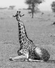 Baby Masai giraffe with tick bird on leg BW, Grumeti Game Reserve, Serengeti, Tanzania