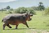 Hippopotamus (Hippopotamus amphibius) walking across the savanna, open mouth, Grumeti Game Reserve, Tanzania