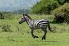 Levitating plains zebra (Equus quagga), Grumeti Game Reserve, Serengeti, Tanzania