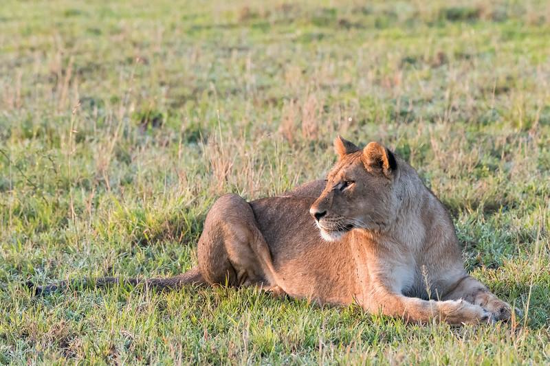 Lioness on the new grasses of the savanna at the beginning of the rainy season, Grumeti Game Reserve, Serengeti, Tanzania