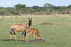 Topi mother and calf grazing on the savanna, Grumeti Game Reserve, Serengeti, Tanzania