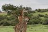 Masai giraffes rubbing neck, convoluted neck, Grumeti Game Reserve, Serengeti, Tanzania