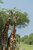 Pair of curious Masai giraffes by an acacia tree, Grumeti Game Reserve, Serengeti, Tanzania