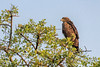 Tawny eagle (Aquila rapax) at tree top with swarm of mosquitoes, Grumeti Game Reserve, Serengti, Tanzania