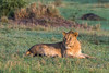 Young male lion at sunrise, Grumeti Game Reserve, Serengeti, Tanzania