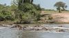 A crash of hippos
