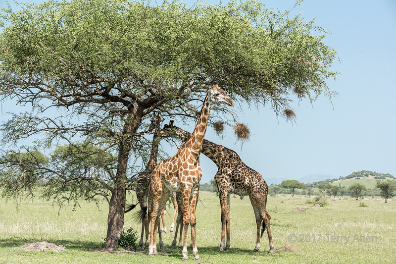 Masai giraffes eating from acacia tree with weaver bird nests, Grumeti Game Reserve, Serengeti, Tanzania