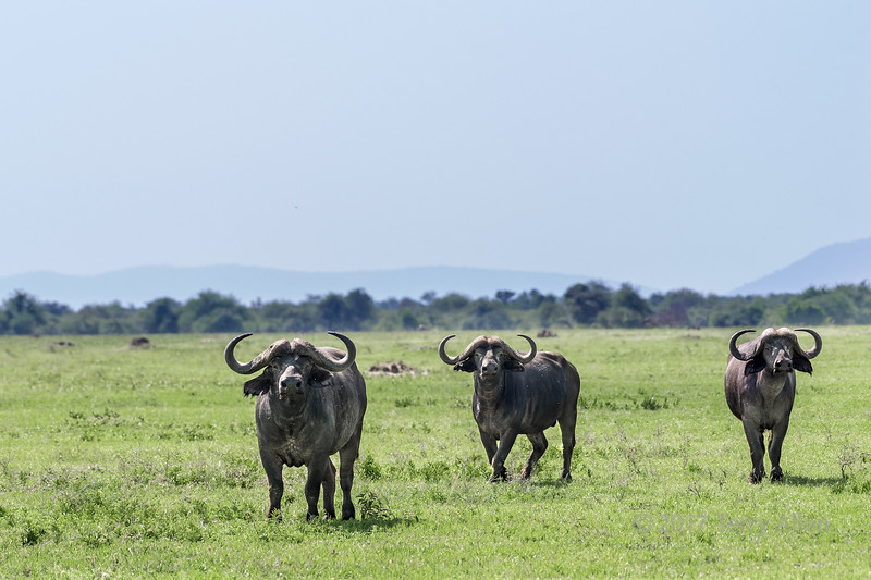 Fight or flight,  alert Cape buffalo on the savanna, Grumeti Game Reserve, Serengeti, Tanzania